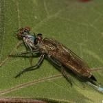<i>Philonicus albiceps</i> cu pradă, Topolniţa - MH în 18.iulie.2007