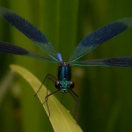 Calopteryx splendens, male
