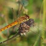 Sympetrum depressiusculum, female (Photo: Horia Bogdan)