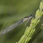 <i>Ischnura elegans</i>, mascul tânăr, langa Sântămăria Orlea (HD) la 8.mai.2009